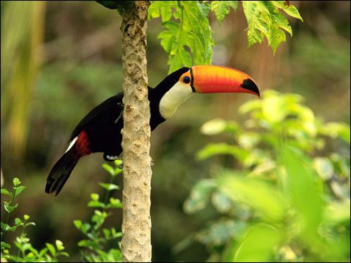 Тукан, Фото фотография картинка птицы