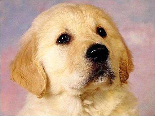 Щенок золотистого ретривера, голден ретривера, Фото фотография картинка собаки