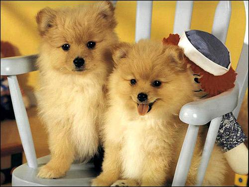 Щенки померанского шпица, Фото фотография собаки картинка