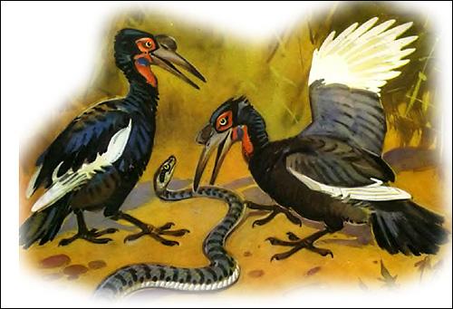 Кафрский рогатый ворон (Bucorvus leadbeateri), Рисунок картинка птицы