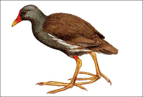 Камышница (Gallinula chloropus), Рисунок картинка птицы