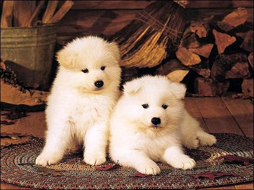 Щенки самоедской лайки самоеда, Фото фотография собаки картинка