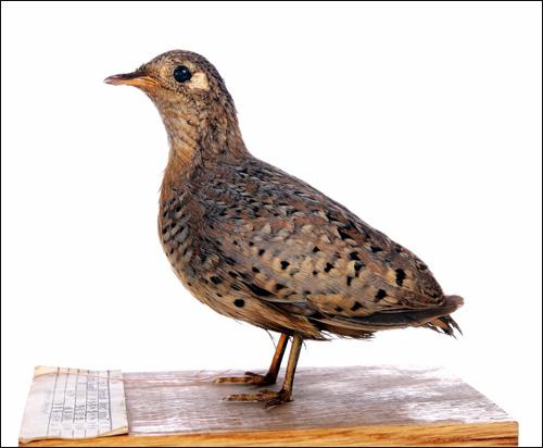 Пятнистая трехперстка (Turnix tanki), Фото фотография птицы картинка