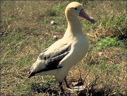 Белоспинный альбатрос (Phoebastria albatrus), Фото фотография картинка птицы