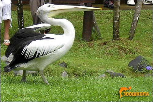 Пеликан, Фото фотография картинка птицы