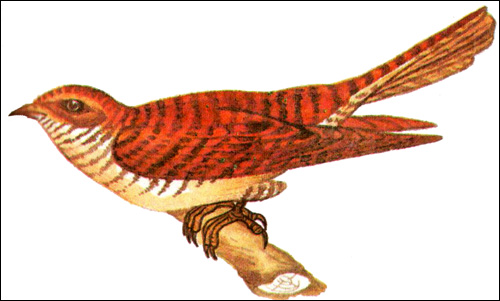 Обыкновенная кукушка (Cuculus canorus), Рисунок картинка птицы