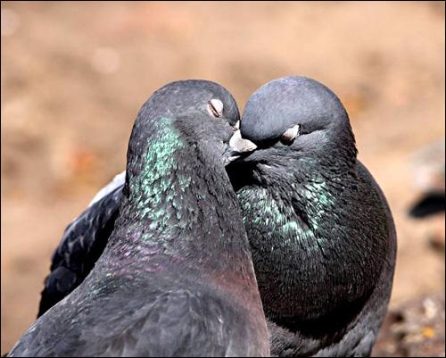 Сизые голуби целуются, Фото фотография картинка птицы