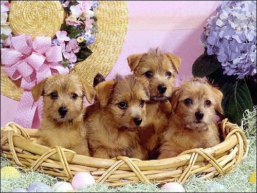 Щенки норвич-терьера, Фото фотография собаки картинка
