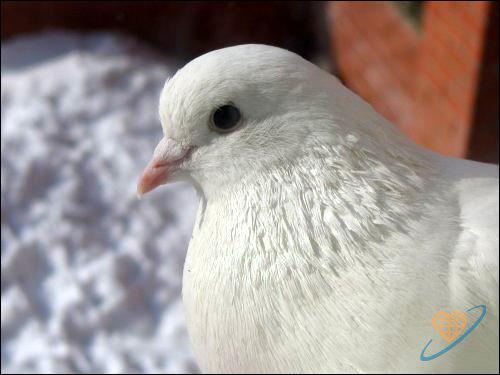 Белый голубь, Фото фотография картинка птицы
