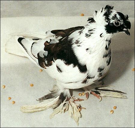 Голубь русский барабанщик - самка, Фото фотография картинка птицы