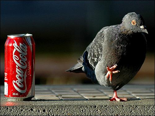 Сизый голубь, Фото фотография картинка птицы