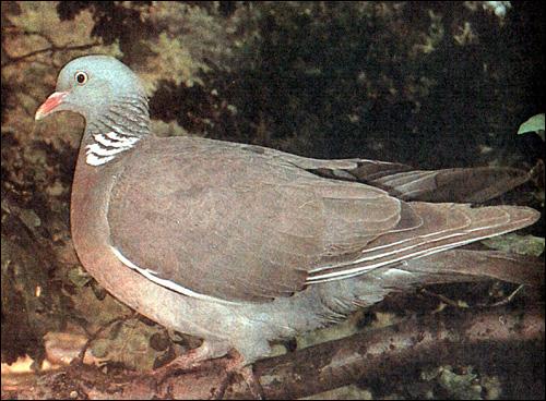Вяхирь, витютень (Columba palumbus), Фото фотография картинка птицы
