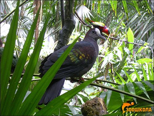 Голубь или горлица, Фото фотография картинка птицы