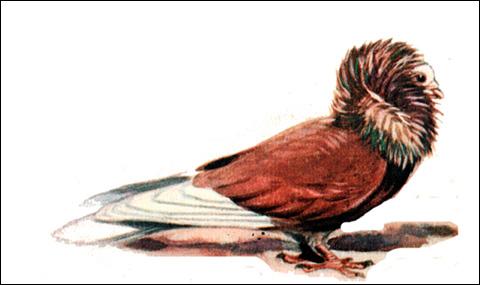 Голубь, Рисунок картинка птицы