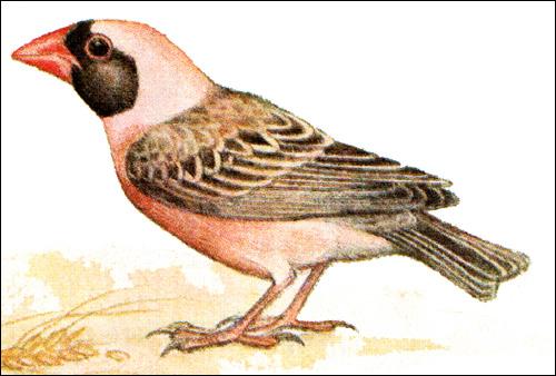 Красноклювый ткачик (Quelea quelea), Рисунок картинка птицы