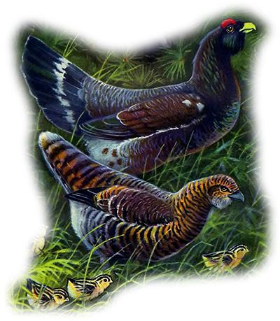 Глухарь (Tetrao urogallus), Рисунок картинка птицы