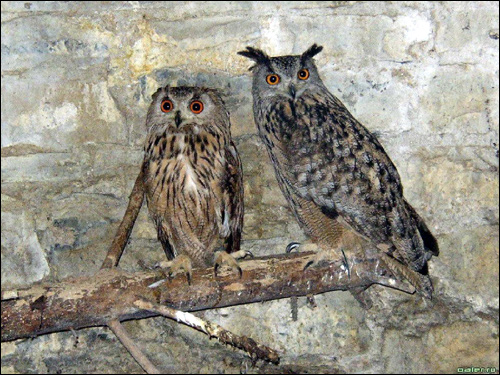 Филин (Bubo bubo), Фото фотография картинка птицы