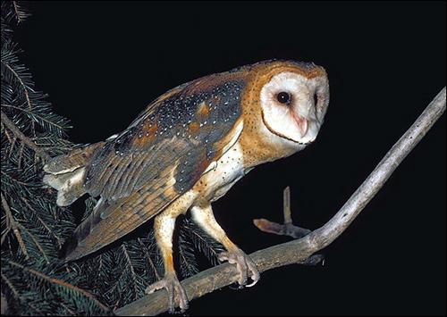 Обыкновенная сипуха (Tyto alba), Фото фотография картинка птицы