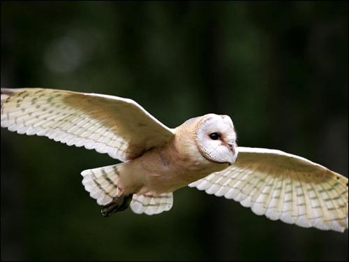 Сипуха (Tyto alba) в полете, Фото фотография картинка птицы