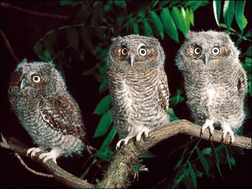 Совята, пуховые птенцы, Фото фотография картинка птицы