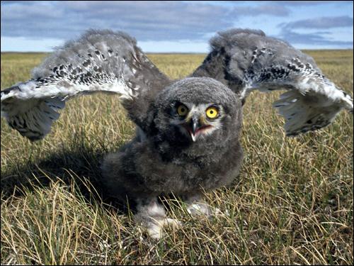 Птенец совы в защитной позе, Фото фотография картинка птицы