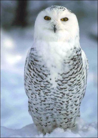 Белая сова, полярная сова (Nyctea scandiaca), Фото фотография картинка птицы