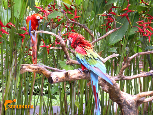 Красный и зеленокрылый ара, Фото фотография картинка птицы