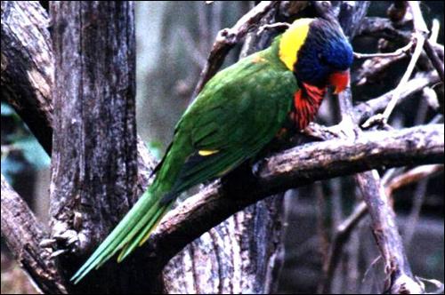 Многоцветный лорикет (Trichoglossus haematodus), Фото фотография картинка птицы попугаи