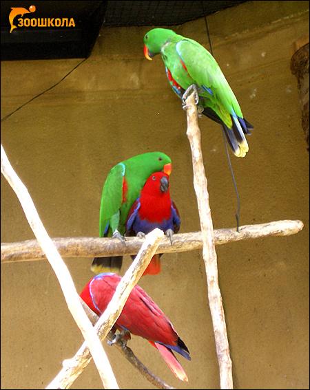 Благородный попугай, двухцветный попугай (Lorius roratus, Eclectus roratus), Фото фотография картинка птицы