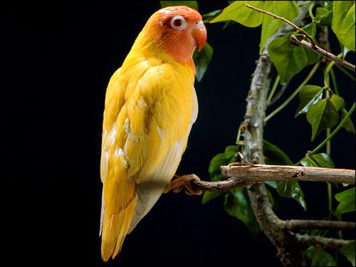 Розовощекий неразлучник (Agapornis roseicollis) желтая морфа, Фото фотография картинка попугаи птицы