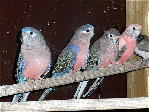 Розовобрюхий попугайчик (Neopsephotus bourkii), Фото фотография картинка птицы