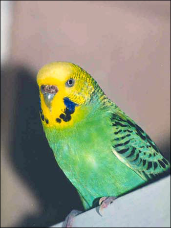 Волнистый попугайчик (Melopsittacus undulatus), Фото фотография картинка птицы