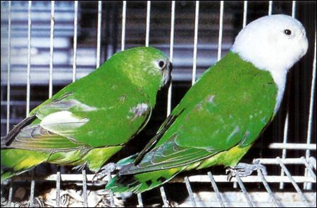 Сероголовый неразлучник (Agapornis cana), Фото фотография картинка птицы попугаи