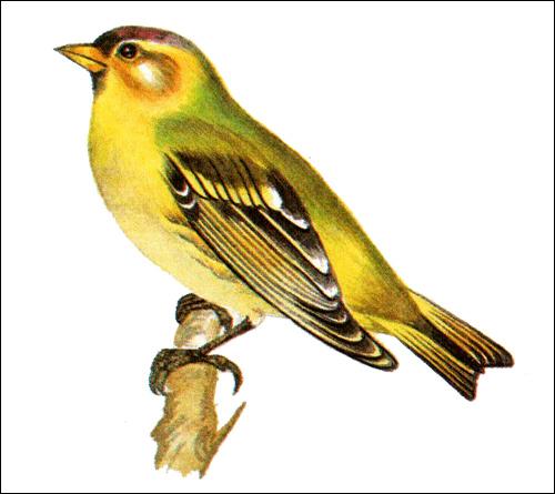 Чиж (Spinus spinus), Рисунок картинка птицы