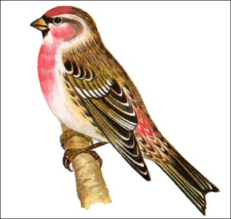 Чечетка (Acanthis flammea), Рисунок картинка птицы