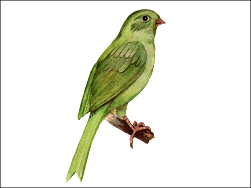 Цветная канарейка, Рисунок картинка птицы