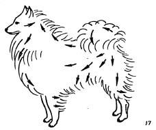 Уход за породами собак с пышной прямой шерстью приподнятой густым плотным подшерстком (длинношерстная колли, шпицы, кеесхонд, самоедская лайка, чау-чау, шелти, пекинес)